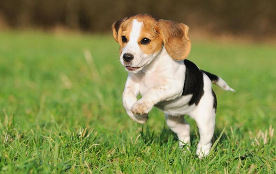 Pocket-Beagle