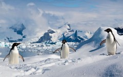 Adelie_penguins_in_the_South_Shetland_Islands